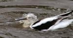 Avocet Bathing