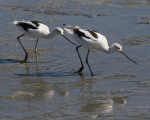Avocet Pair in Salt Marsh