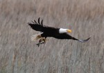 Bald Eagle w Fish