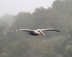 Brown Pelican Flight in Fog