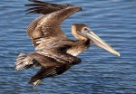 Brown Pelican Flight Over Marsh