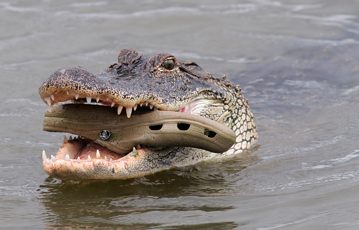 Alligator Battles Croc series of 4 photos | Phil Lanoue ...