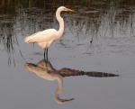 Egret and Alligator