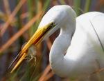 Egret Catches Shrimp