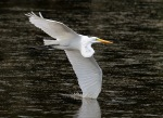Egret Flight with Wing in Water