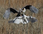 Egret Jumped by GBH