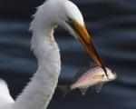Egret Snags Fish