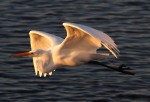 Egret Sunset Flight