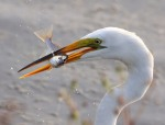 Egret With Fish Wed