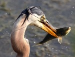 GBH Grabs Fish