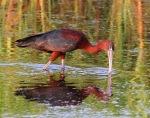 Glossy Ibis Fishing