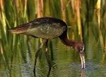 Glossy Ibis Juvi Fishing