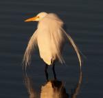 Great Egret Back