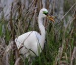 Great Egret Catches Fish