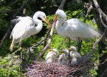 Great Egret Family Nest