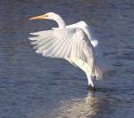 Great Egret Landing in Marsh