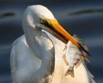 Great Egret Snags Fish