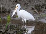 Great Egret w Fish