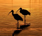 Ibis at Sunset In Big Pond