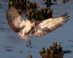 Juvie Ibis Lands in Oyster Beds