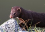 Mink Along the Marsh 02