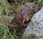 Mink Along the Marsh 03