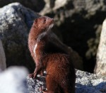 mink-at-the-jetty-02