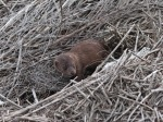 mink-in-the-salt-marsh-01