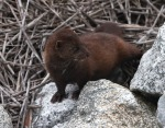 mink-in-the-salt-marsh-02