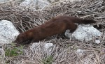 mink-in-the-salt-marsh-03