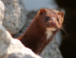Mink on the Rock