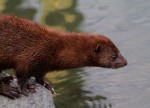 Mink on the Rocks