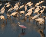 One Spoonbill Among Many Wood Storks
