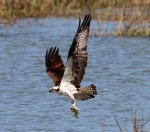 Osprey Flying Over Marsh w Fis