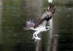 Osprey Snags Fish