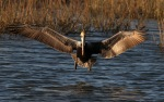 Pelican Flight Into Marsh