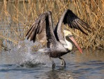 Pelican Liftoff From Marsh