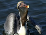 Pelican Swallows Fish