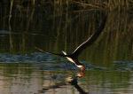 Skimmer in Salt Marsh