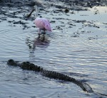 Spoonbill and Alligator