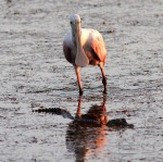 Spoonbill and Baby Gator 01