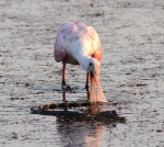 Spoonbill and Baby Gator 04