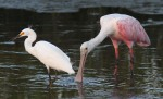 Spoonbill and Snowy Fishing in Salt Marsh