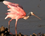 Spoonbill at Sunset