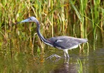 Tricolored Heron Fishing