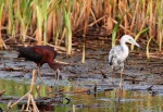 Tweener LB and Glossy Ibis 01
