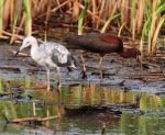 Tweener LB and Glossy Ibis 02