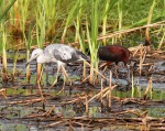 Tweener LB and Glossy Ibis 03