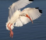 White Ibis Fly In