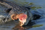 Alligator Feeding in Salt Marsh 03